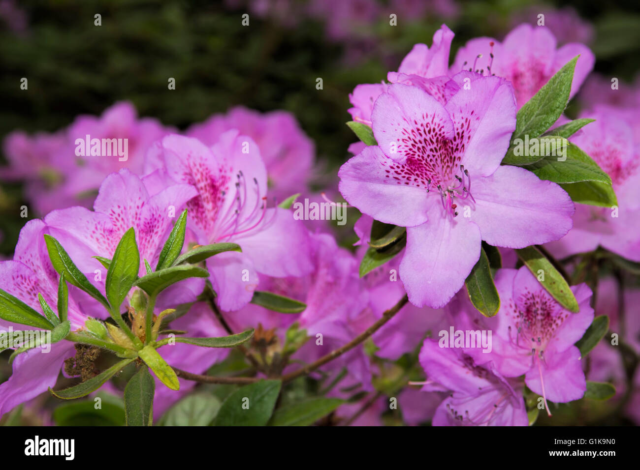 Azalea, Formosa Azalea - Stock Image
