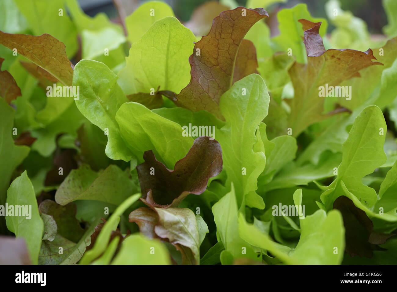 Close up of a blend of loose leaf lettuce. - Stock Image
