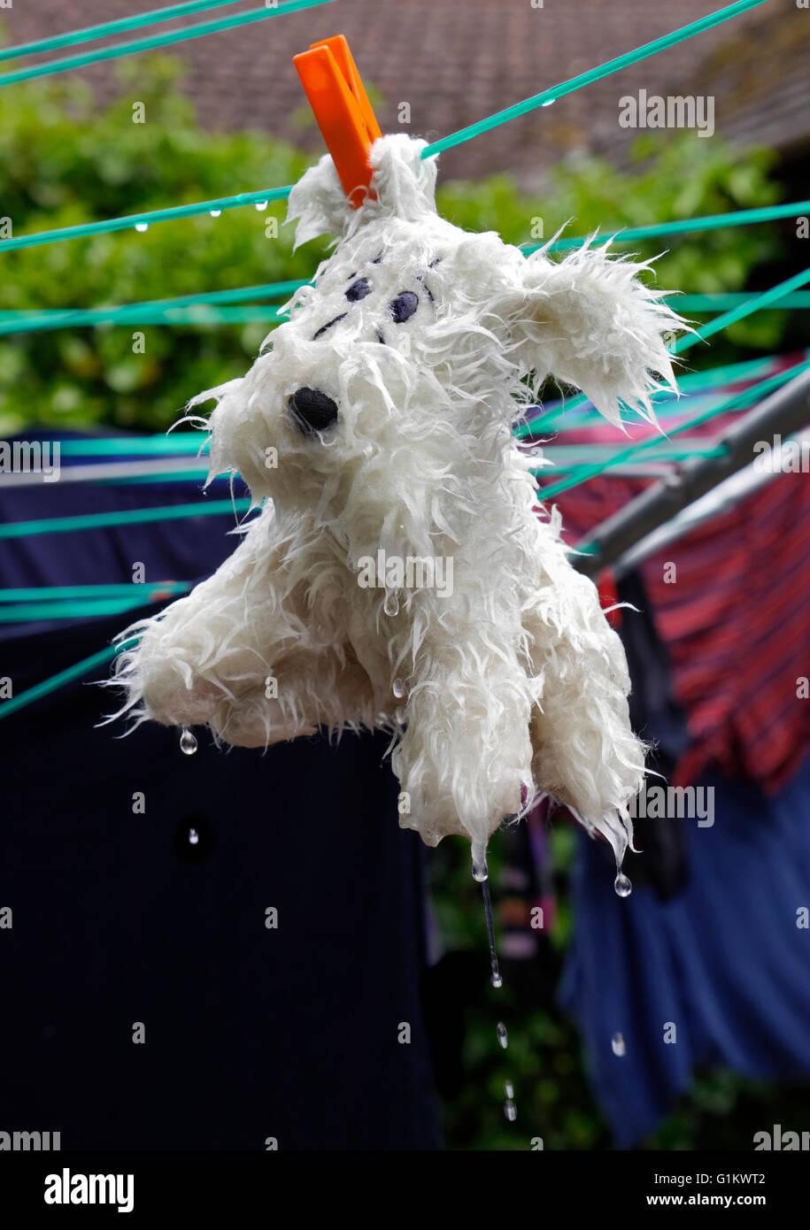 Favorite cute toy dog freshly shampooed washed and pegged dripping on clothes line - Stock Image