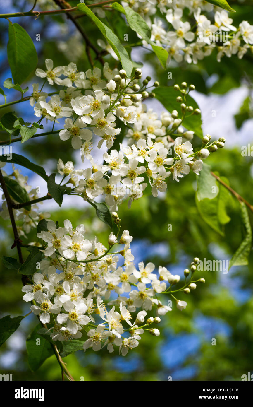 Bird cherry flowers - Stock Image