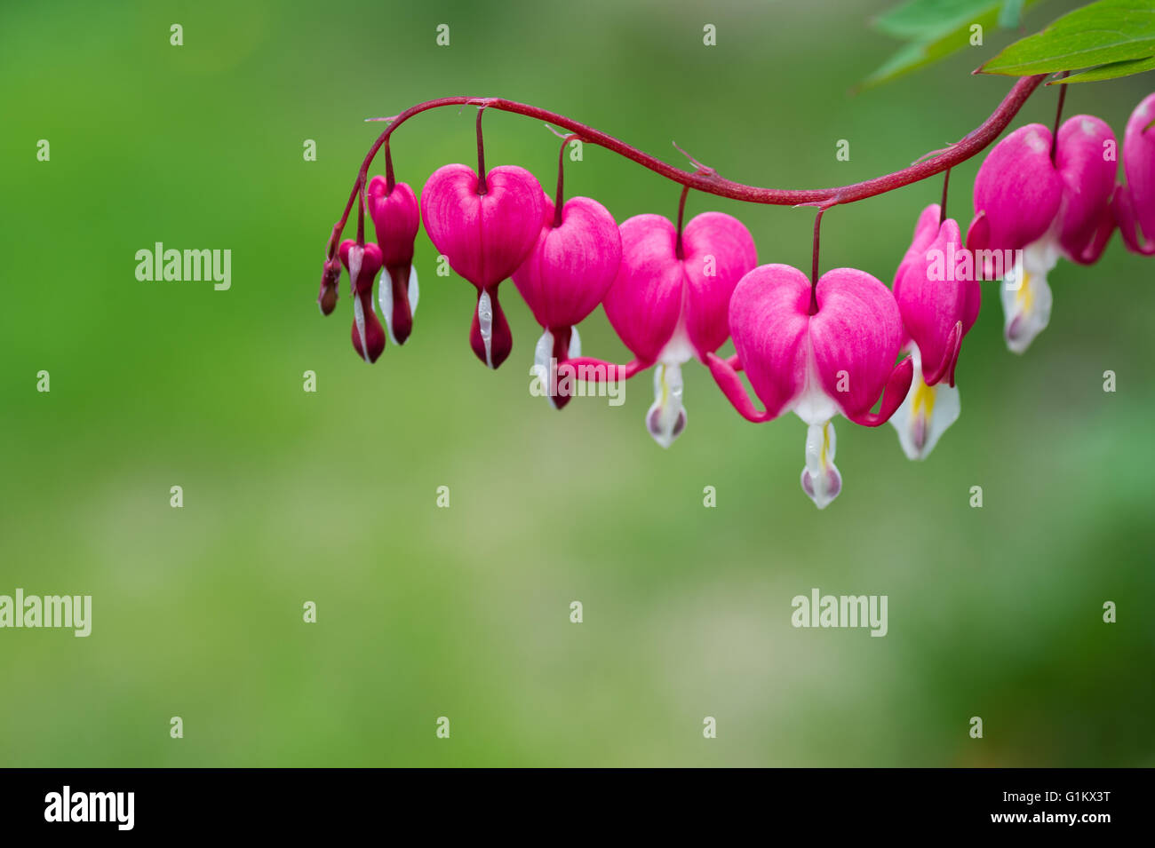 Bleeding Heart flower plant - Stock Image