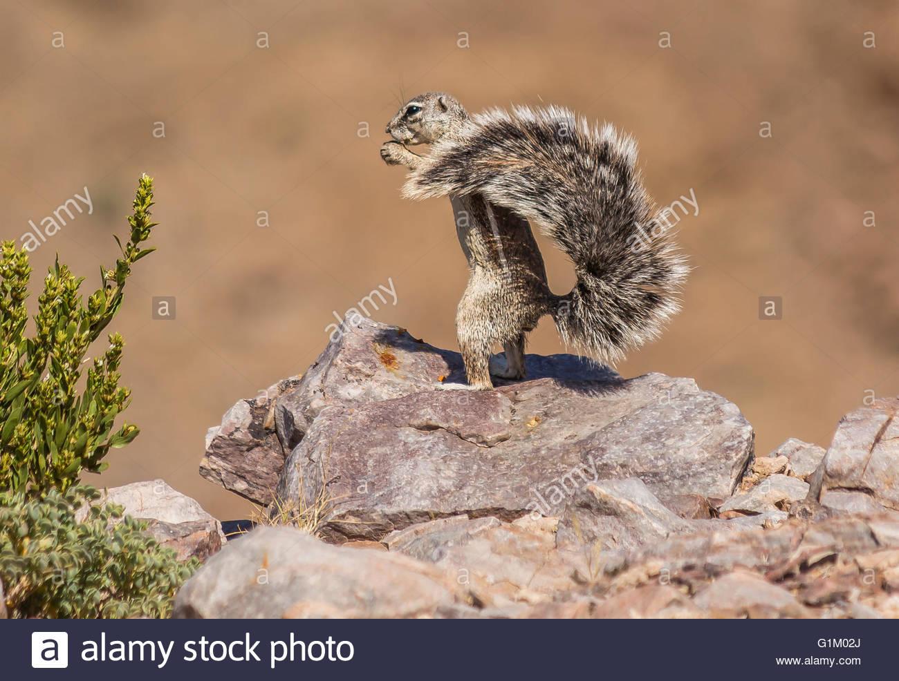 Namibian Ground Squirrel - Stock Image