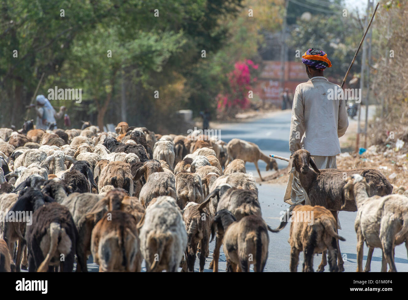 Rabari Nomad With Goats And Sheep, Eastern Gujarat - Stock Image