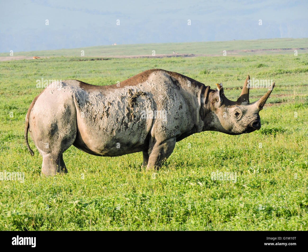 Black Rhinoceros - Stock Image