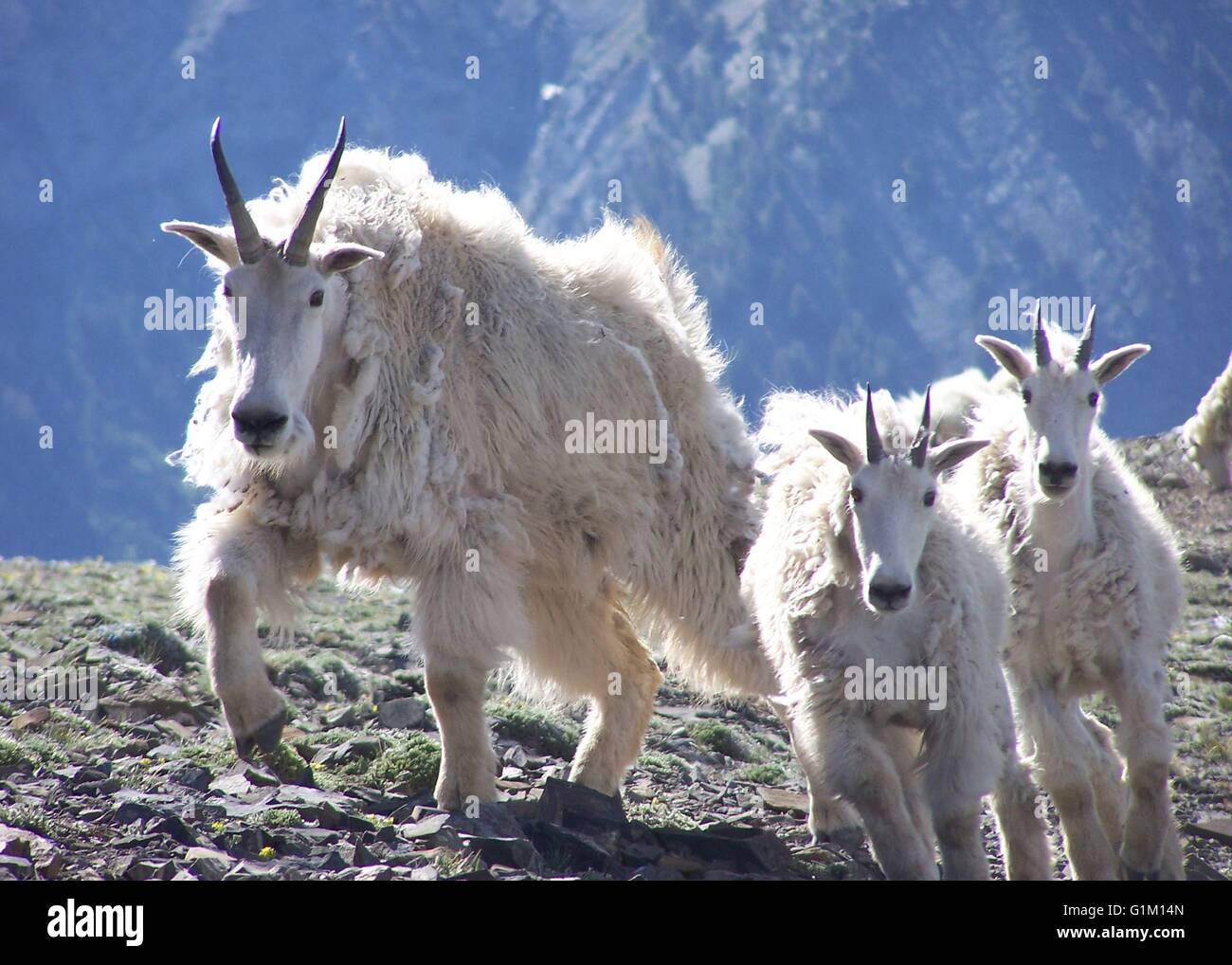 A Rocky Mountain goat nanny with kids in the Wallowa Mountains of Lostine Wildlife Area in Oregon. Stock Photo