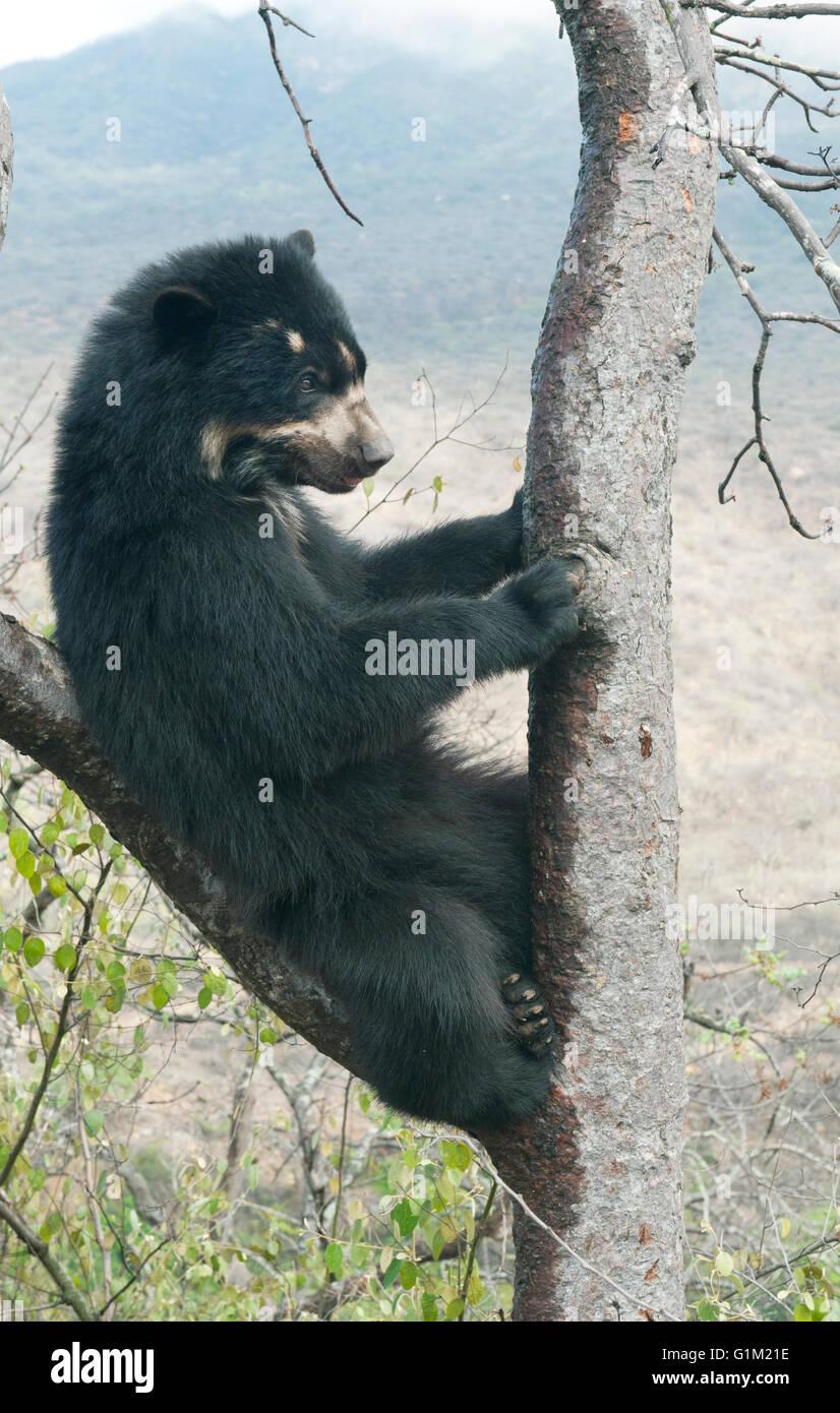 Spectacled Bear (Tremarctos ornatus) 2-year old female, Chaparri Reserve, Lambayeque Province, Peru Stock Photo