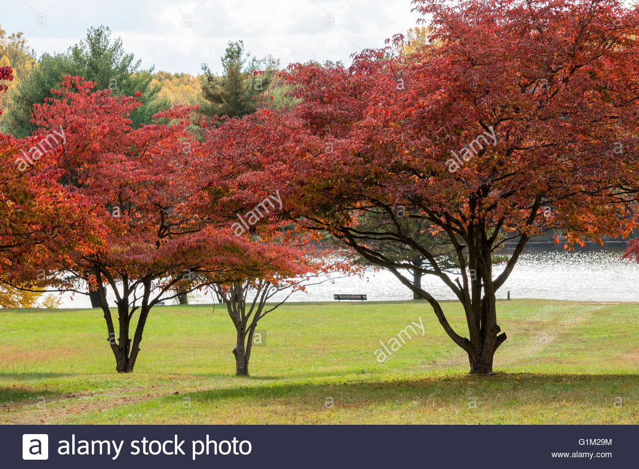 The Red Leaves And Berries Of Dogwood Trees Contribute To Peaking