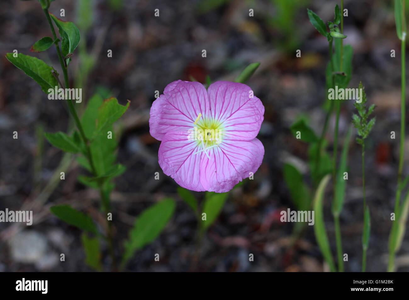 Pink Ladies Or Oenothera Speciosa Stock Photo 104317799 Alamy