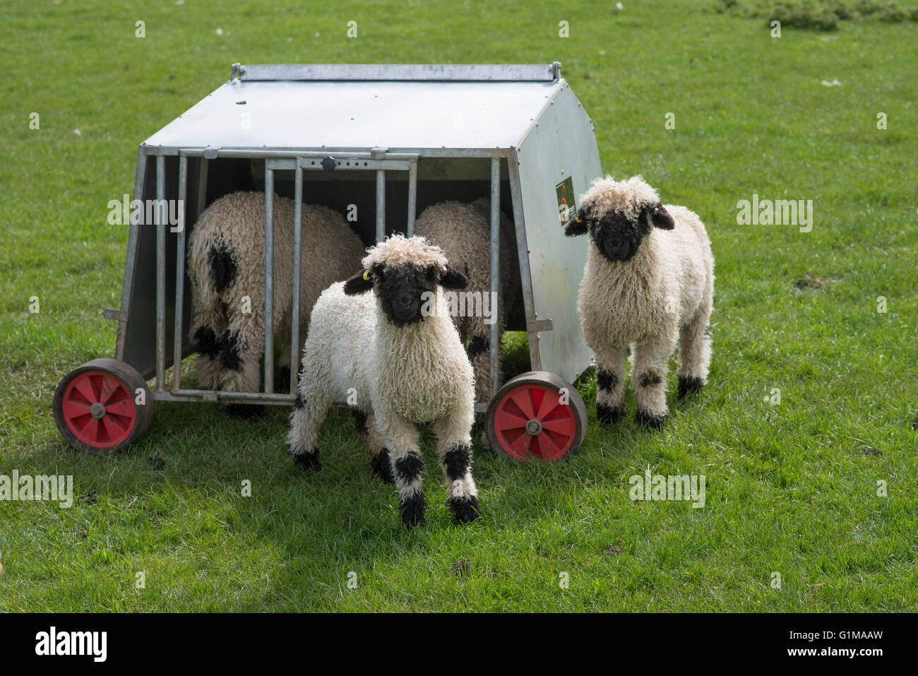 dautobi or single feeders feeder scale guardians sheep mineral shelter pen for large keeping small basics creep gate acres jug