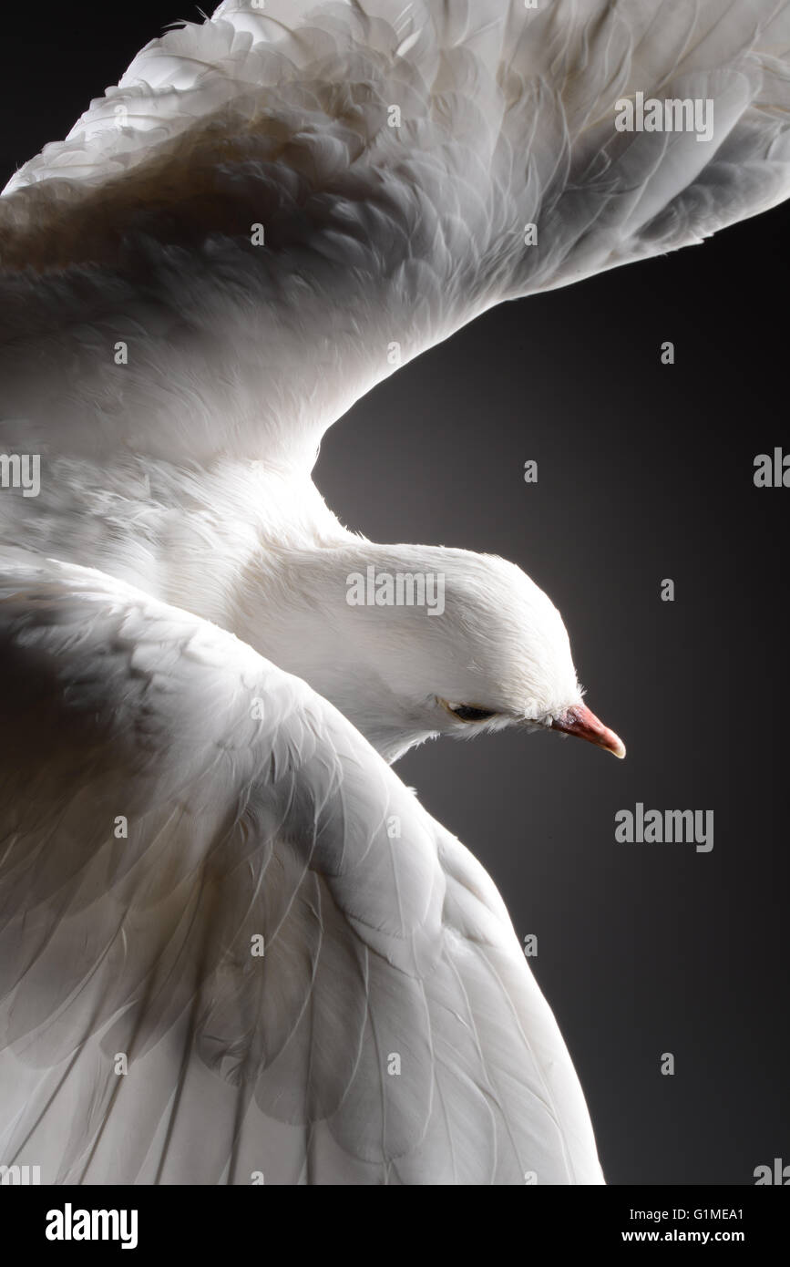 Stuffed white dove in flight, detail against dark background Stock Photo