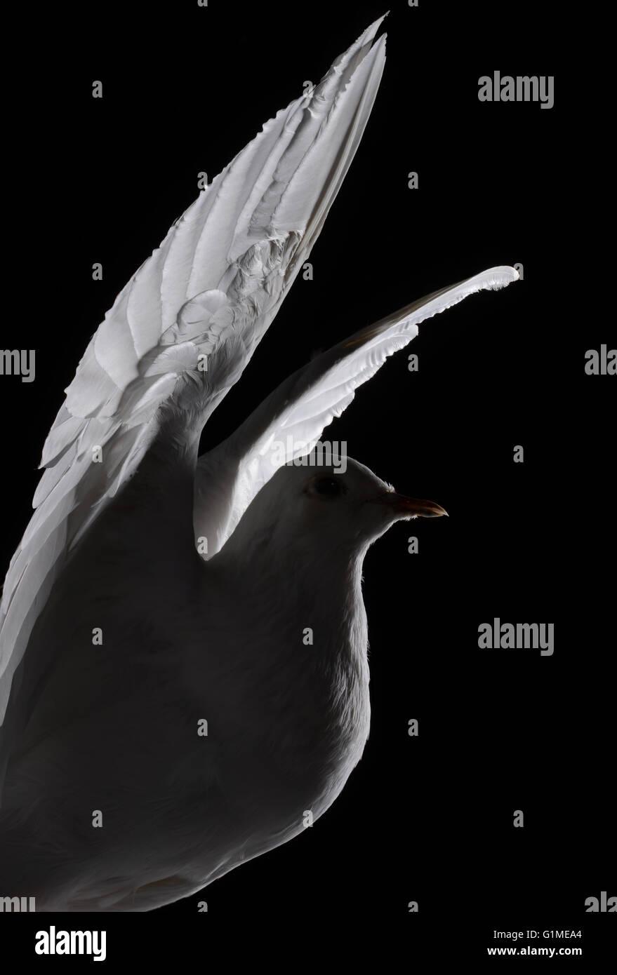 Stuffed white dove in flight, detail against black Stock Photo
