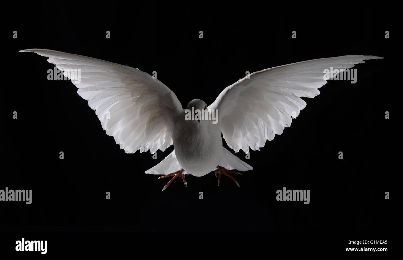 Stuffed white dove in flight against black Stock Photo