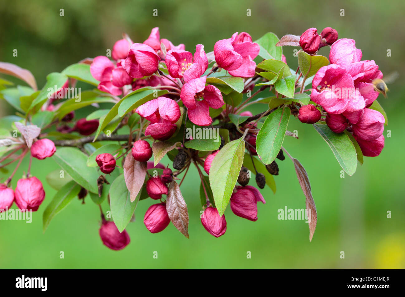 Red Spring Flowers Of The Ornamental Crab Apple Malus Indian Magic