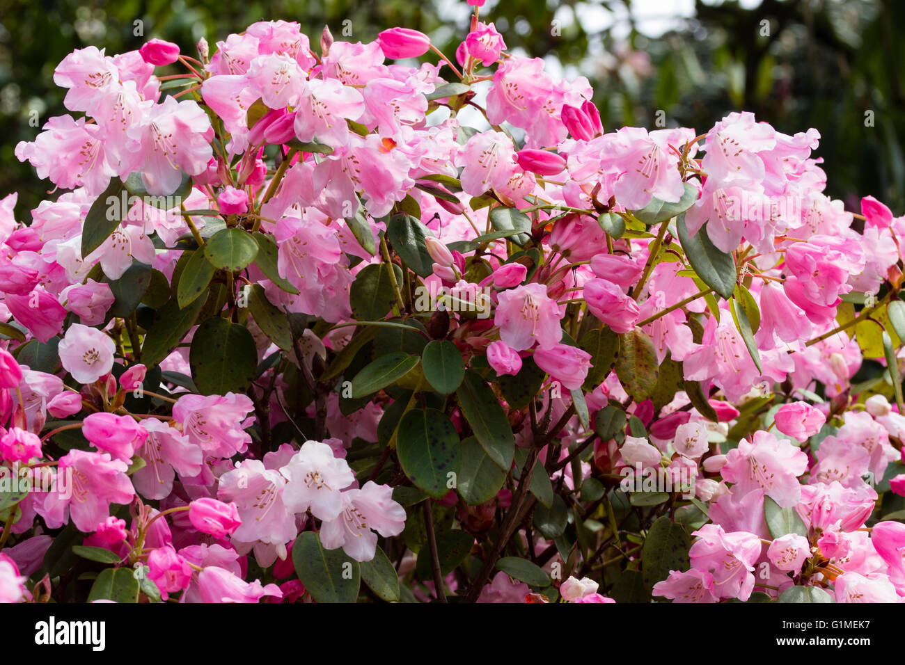 Delicate pink flowers of the hybrid evergreen shrub rhododendron delicate pink flowers of the hybrid evergreen shrub rhododendron bow bells mightylinksfo