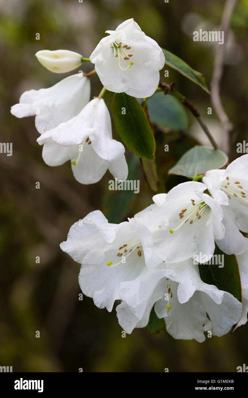 White bell flowers of the evergreen small tree rhododendron stock white bell flowers of the evergreen small tree rhododendron pipaluk mightylinksfo