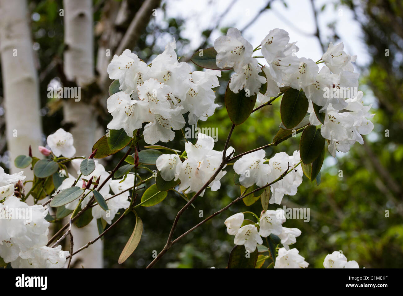 Bell Tree Stock Photos Bell Tree Stock Images Alamy
