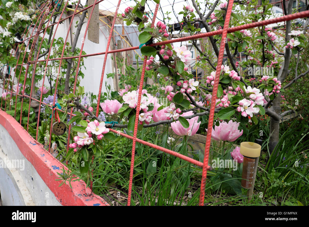 Apple tree in blossom and pink tulips growing in a skip at the Skip Garden in Kings Cross London UK  KATHY DEWITT - Stock Image