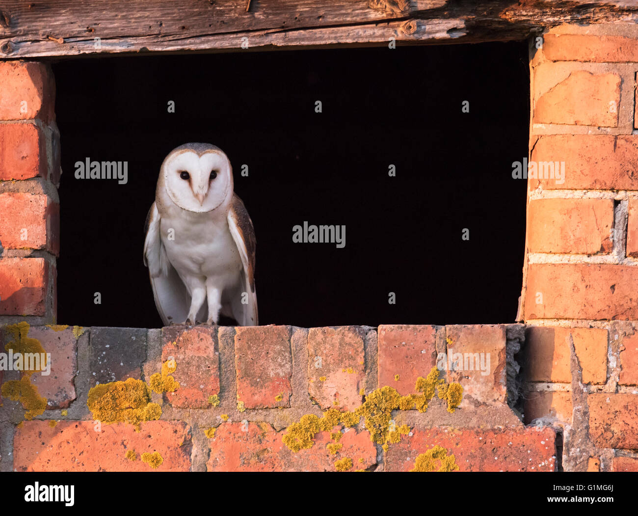A wild Barn Owl Tyto Alba takes in the last rays of the evening sun at entrance to it's nest site before setting Stock Photo