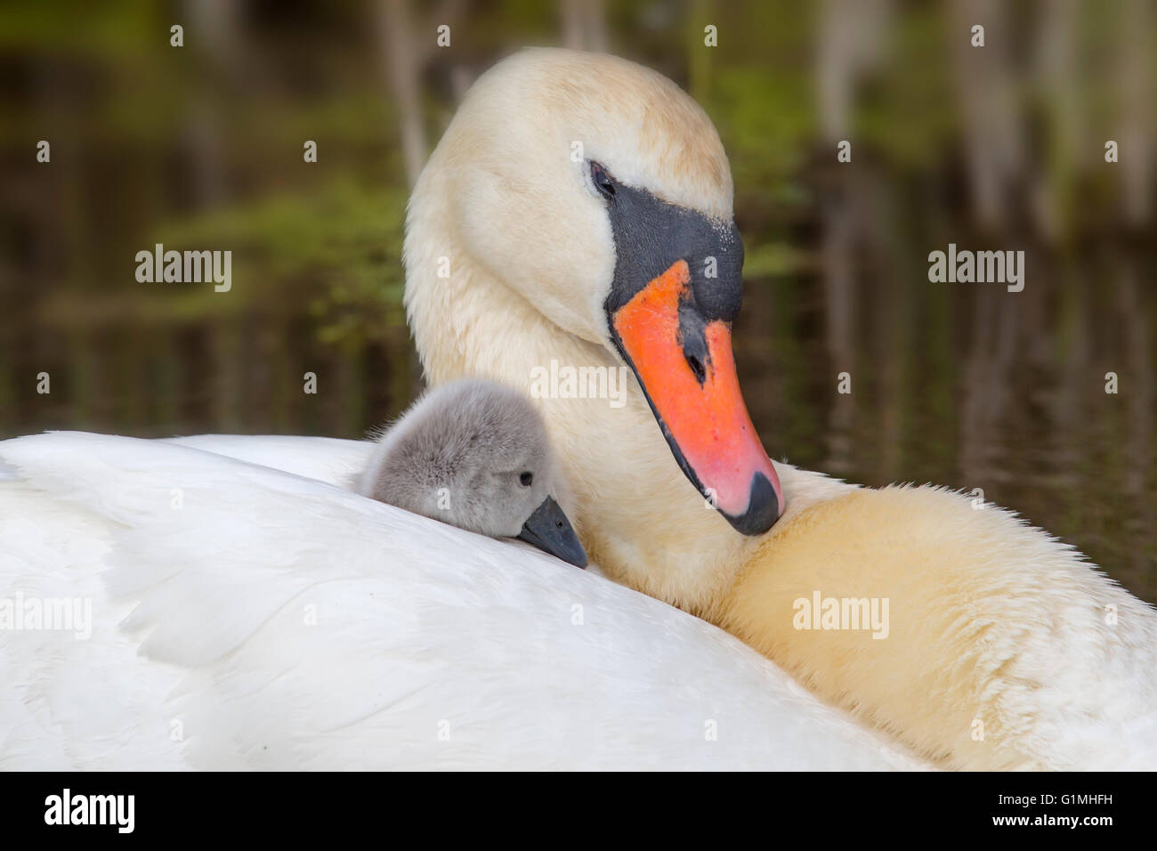 Mute Swan Cygnus olar with newly hatched Cygnets Stock Photo