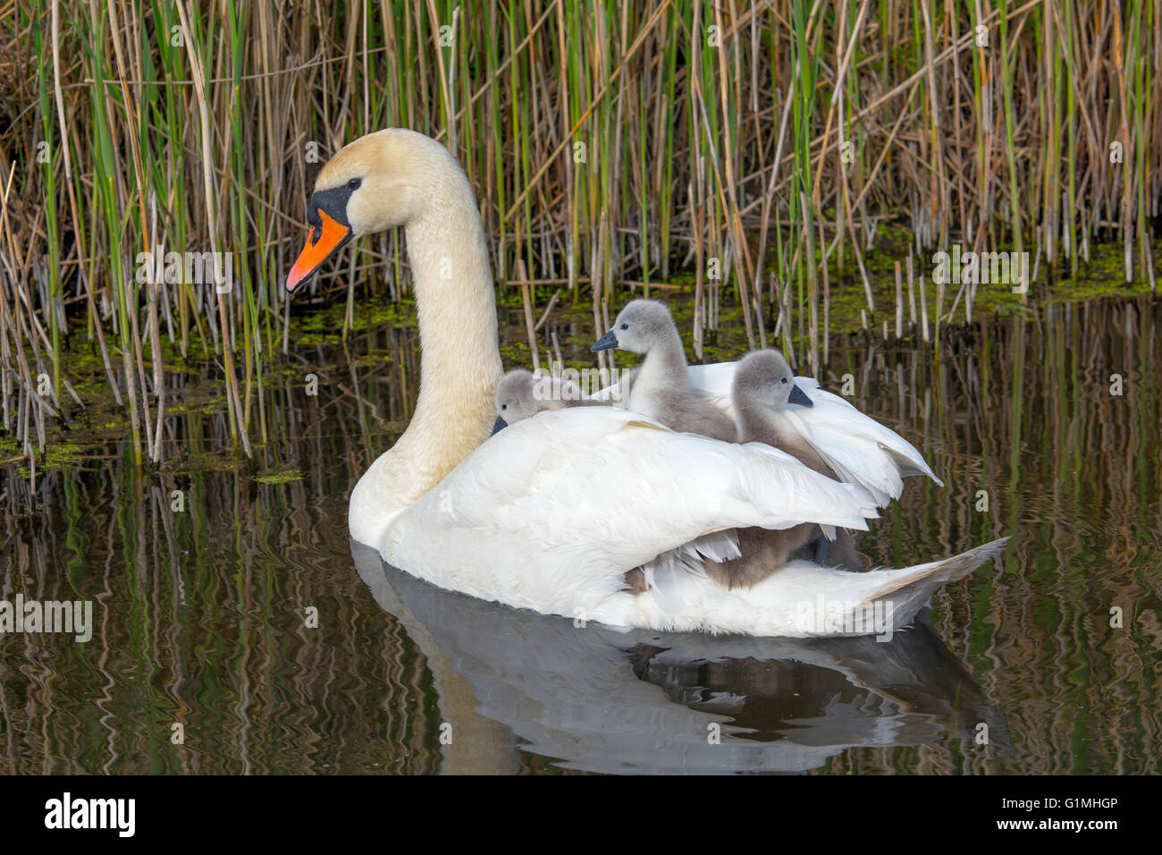 Mute Swan Cygnus olar with newly hatched Cygnets - Stock Image