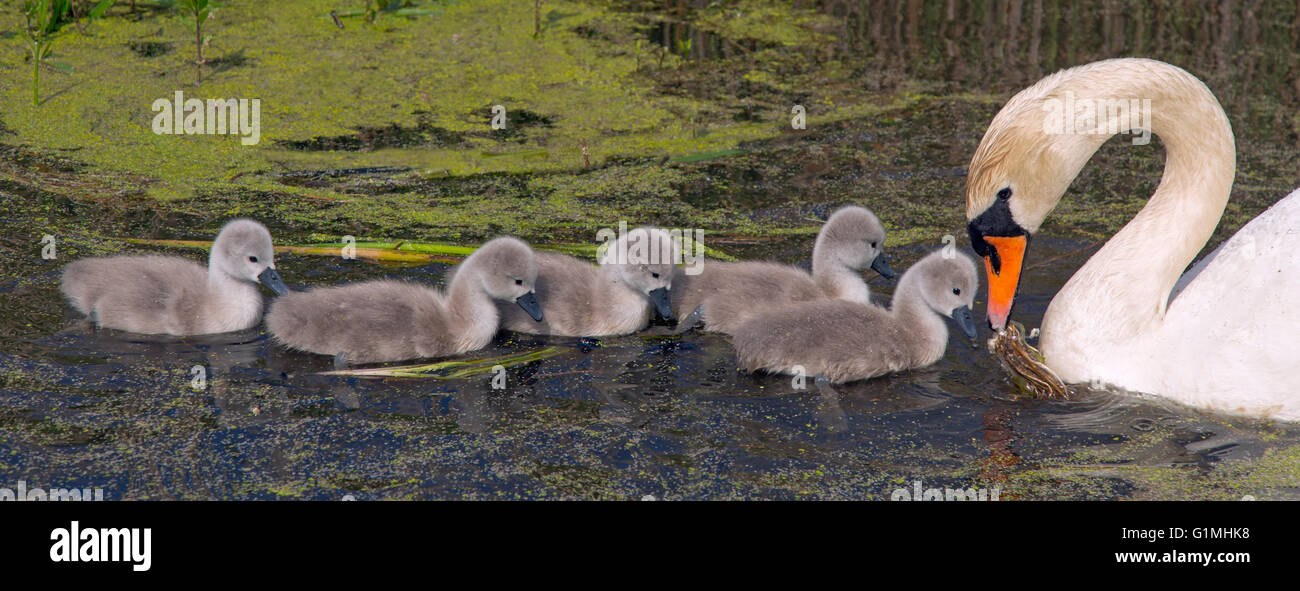 Mute Swan Cygnus olar with a family of newly hatched cygnets Norfolk Stock Photo