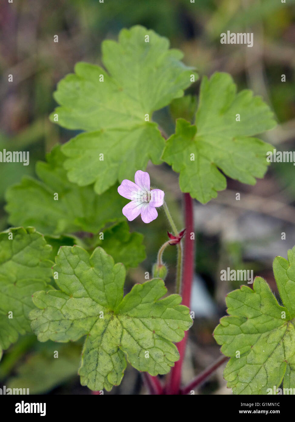 Round-leaved Crane's-bill. Hurst Meadows, West Molesey, Surrey, England. - Stock Image