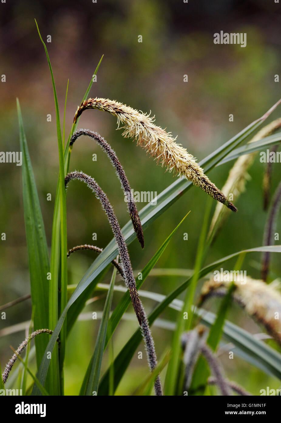Pendulous Sedge (Carex pendula).  Bookham Common, Surrey, England. - Stock Image