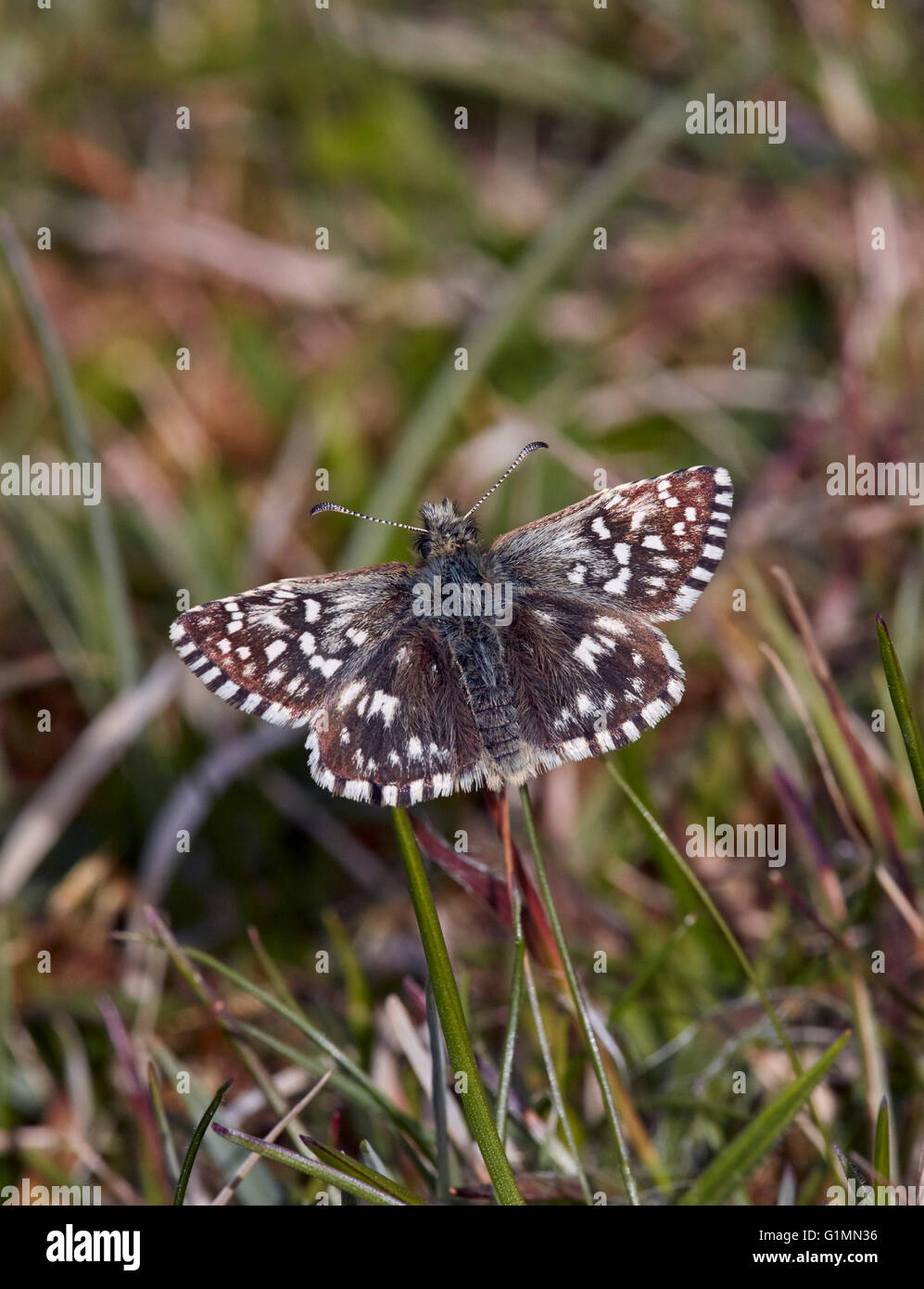 Grizzled Skipper butterfly. Sussex, England. - Stock Image