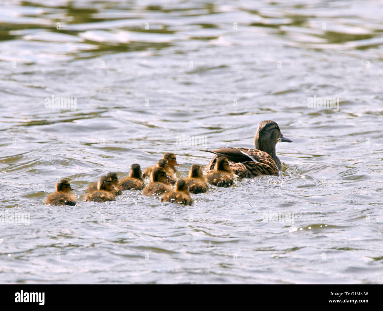 Mallard duck with ten ducklings.  River Thames, West Molesey, Surrey, England. - Stock Image