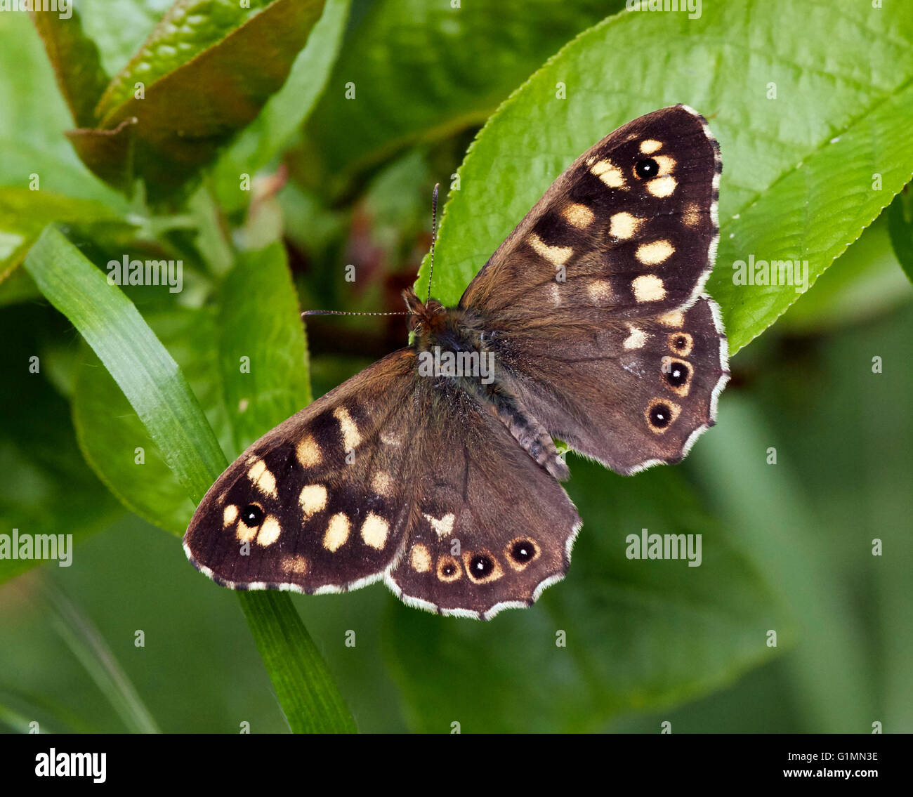 Speckled Wood butterfly.  Hurst Meadows, West Molesey, Surrey, England. - Stock Image