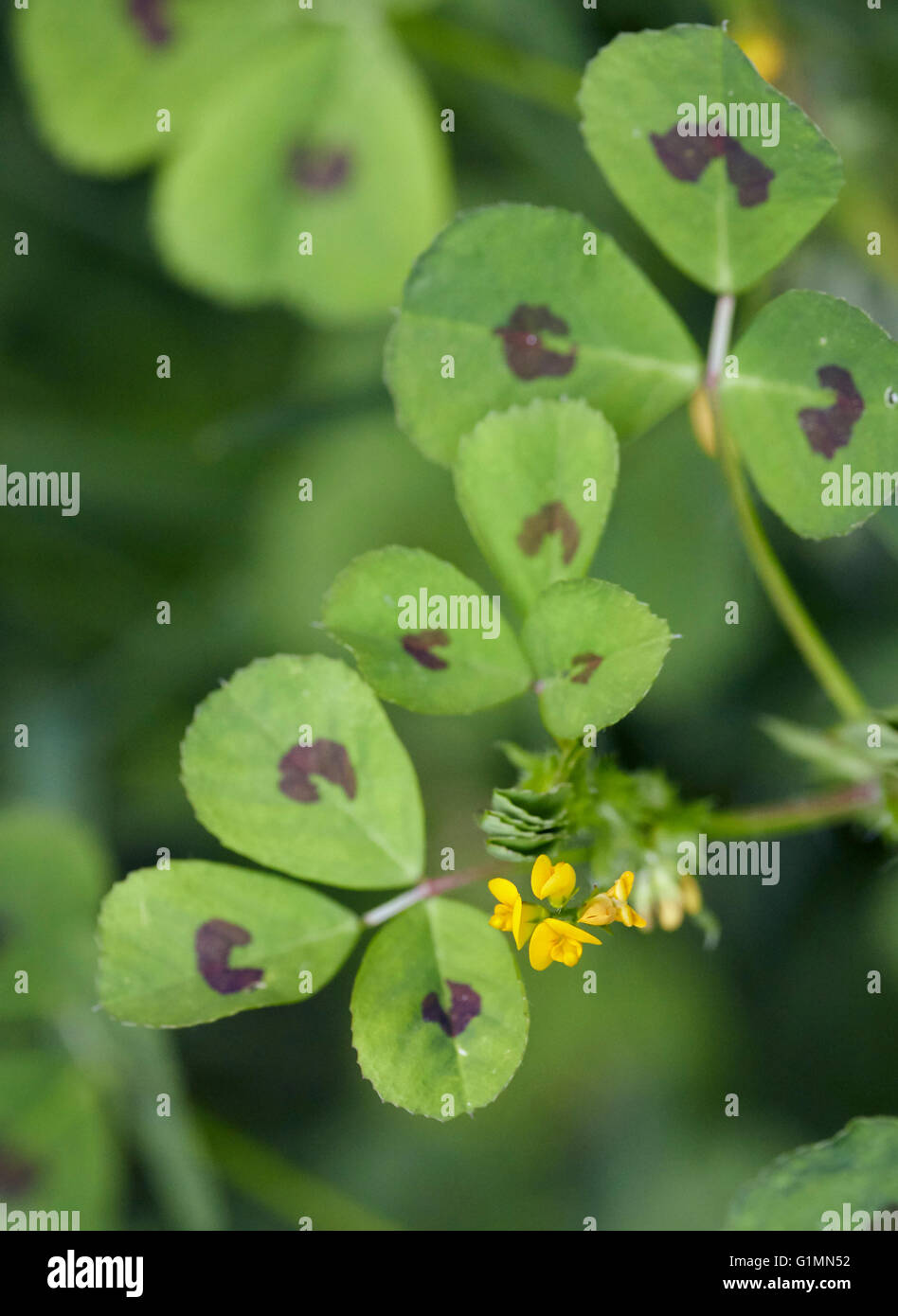 Spotted Medick.  Hurst Meadows, West Molesey, Surrey, England. - Stock Image
