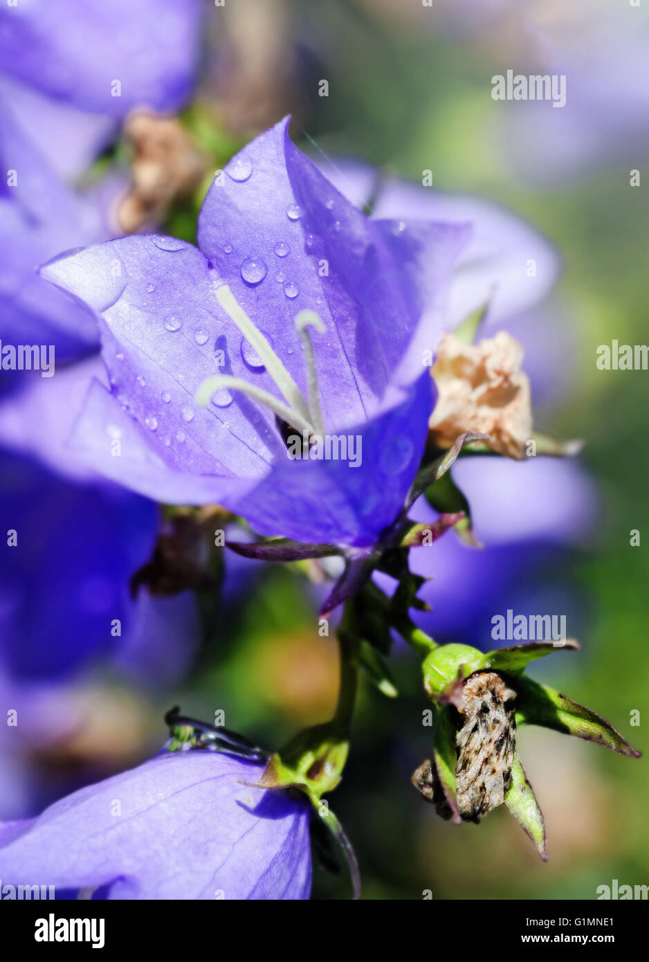 Nice blue flower of campanula garden at sunny day - Stock Image