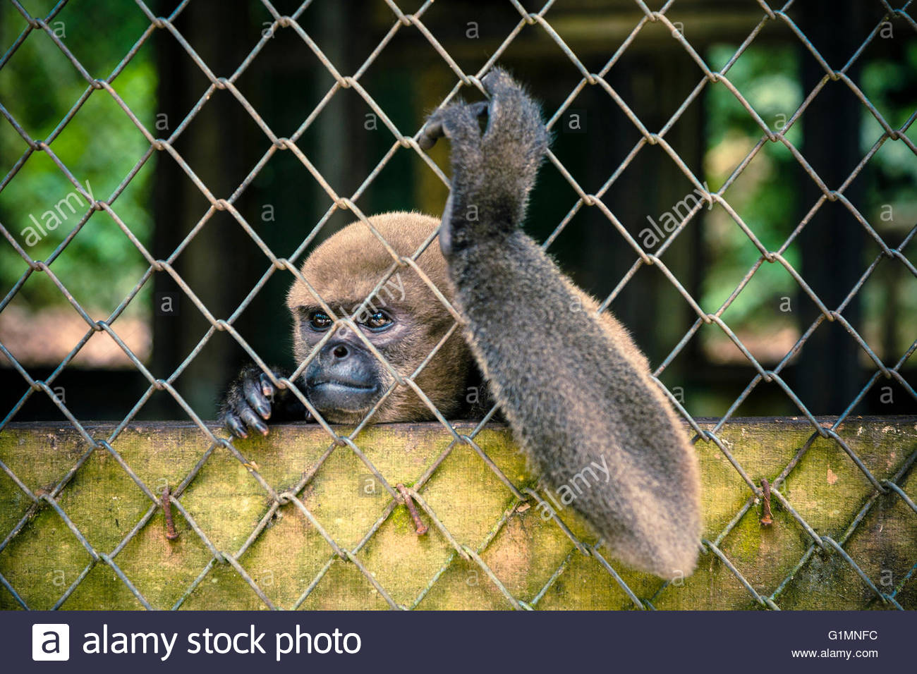Brown Wolly Monkey (Lagothrix lagotricha) in captivity at Quistacocha, Iquitos, Loreto, Peru Stock Photo