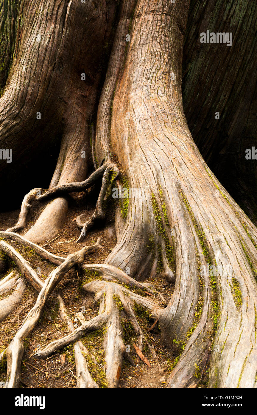 Cedar tree roots, Cathedral Grove, MacMillan Provincial Park, Vancouver Island, British Columbia - Stock Image