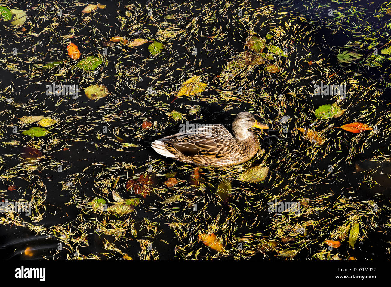 Mallard duck with floating leaf litter, George C. Reifel Migratory Bird Sanctuary in Delta, BC, Canada. - Stock Image