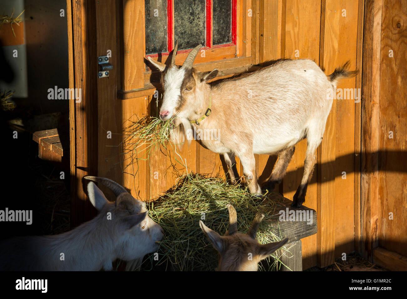 Goat eating straw, Westham Island Herb Farm, Ladner, British Columbia, Canada - Stock Image