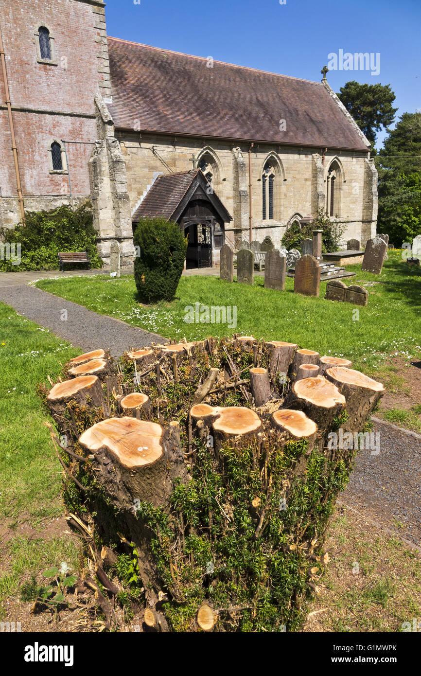 Stump of a yew tree in church yard - Stock Image