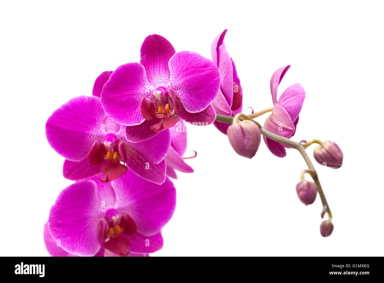 abundant flowering of magenta phalaenopsis orchid isolated on white - Stock Image
