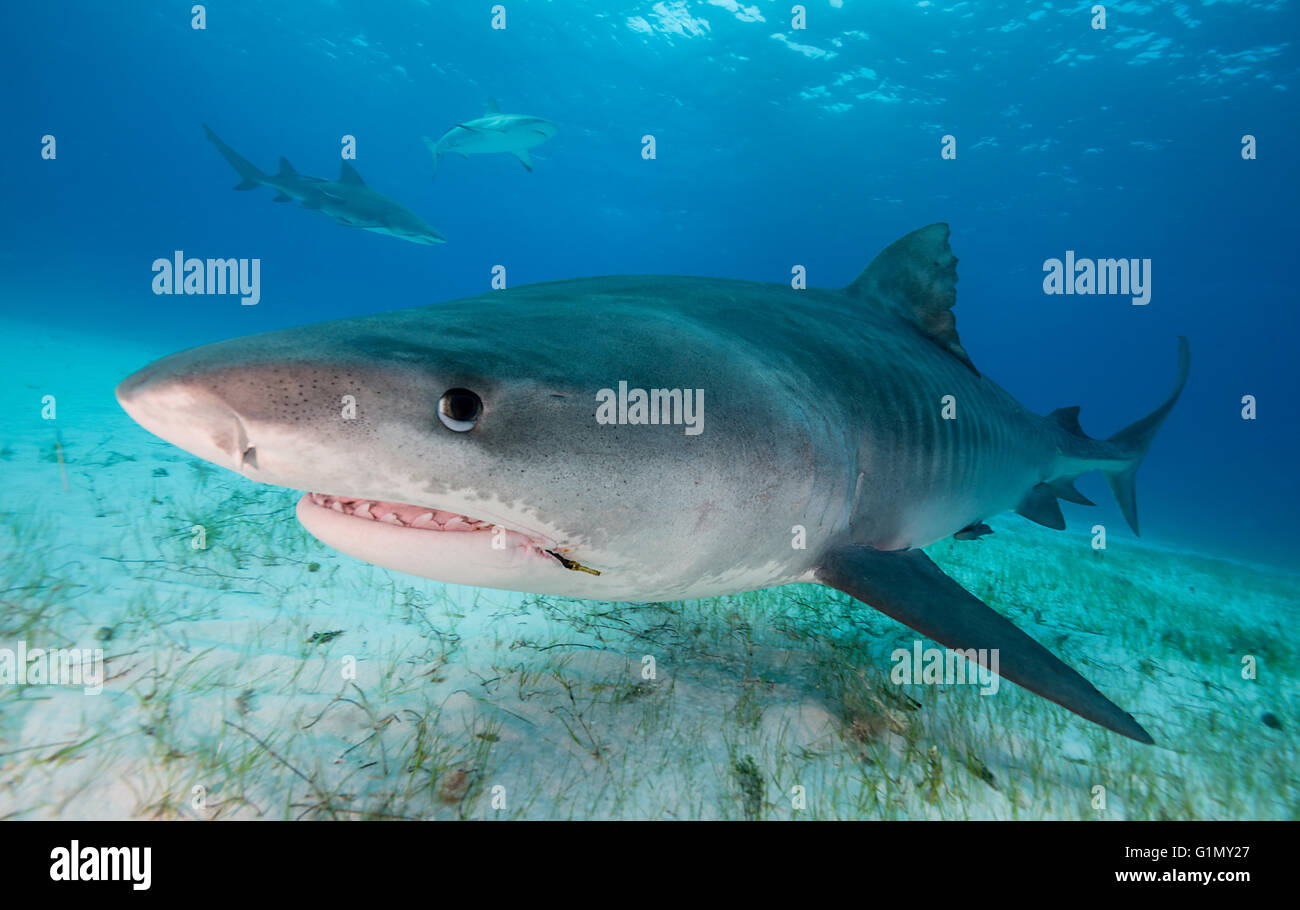 Tiger shark, galeocerdo cuvier, underwater in The Bahamas, Caribbean Stock Photo