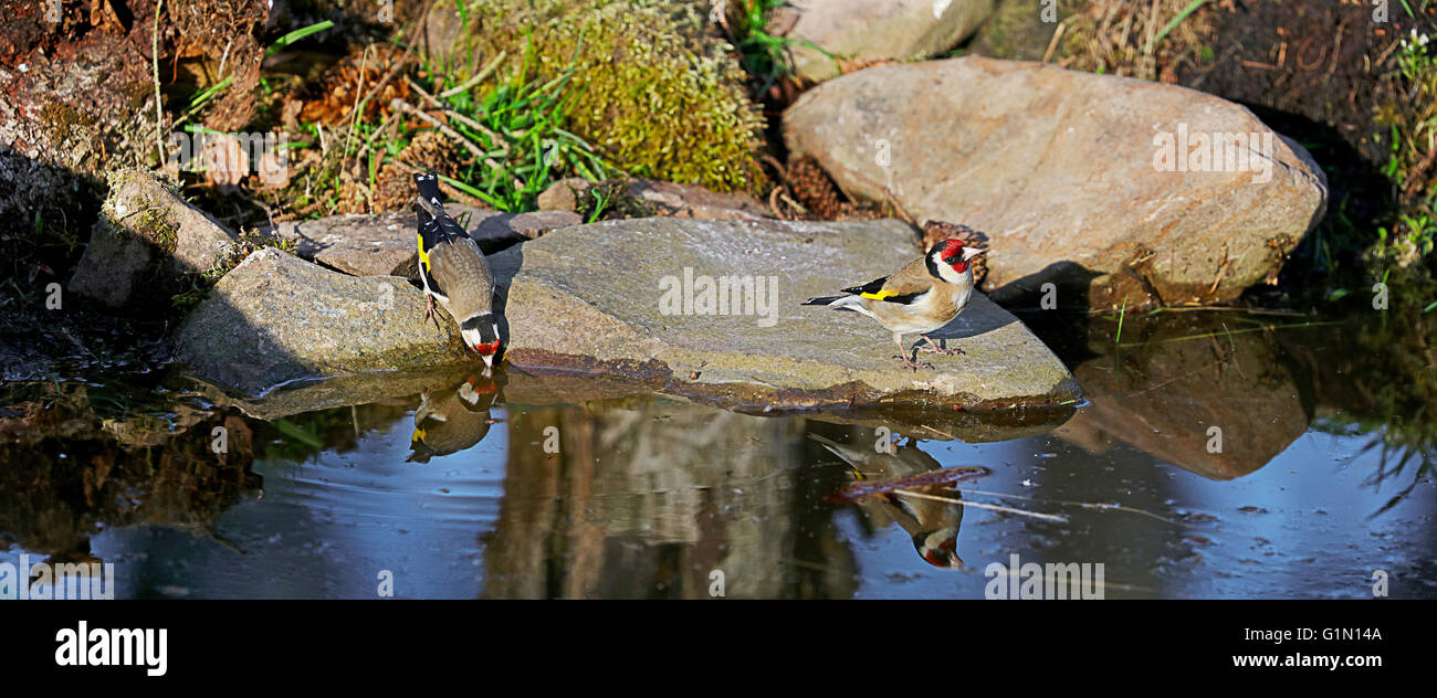 Goldfinch  by water's edge. - Stock Image