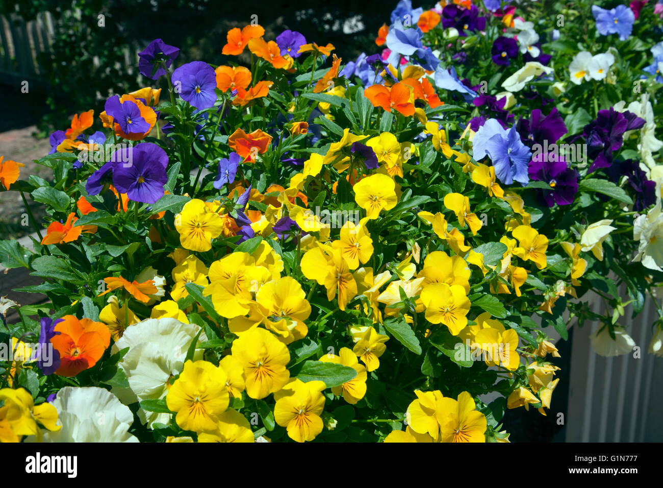 A colorful variety of pansies brighten the streets of Breckenridge, CO, in early July. - Stock Image