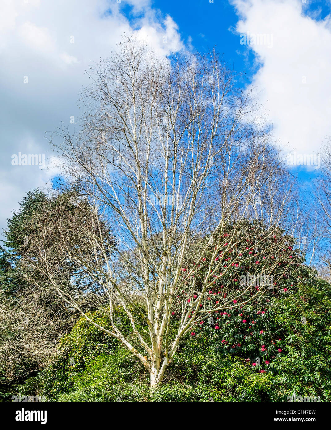 Silver Birch tree ( betula pendula ) during early spring - Stock Image