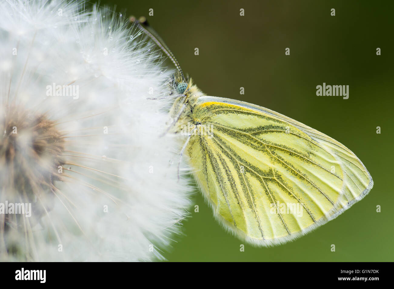 Green-veined white (Pieris napi) on dandelion seedhead. Butterfly in the family Pieridae at rest with wings closed - Stock Image