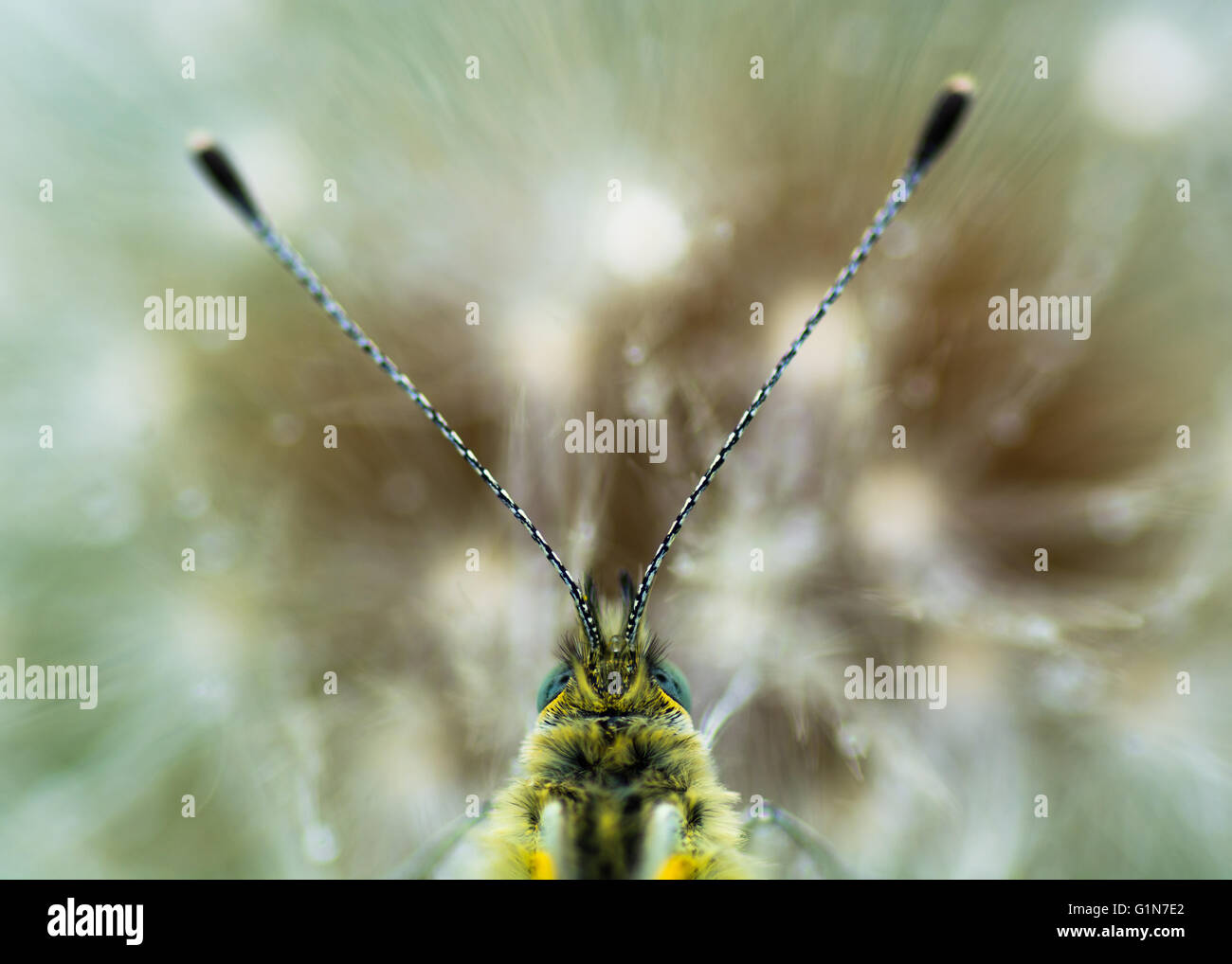 Green-veined white head (Pieris napi) on dandelion seedhead. Close up of head of butterfly in the family Pieridae - Stock Image