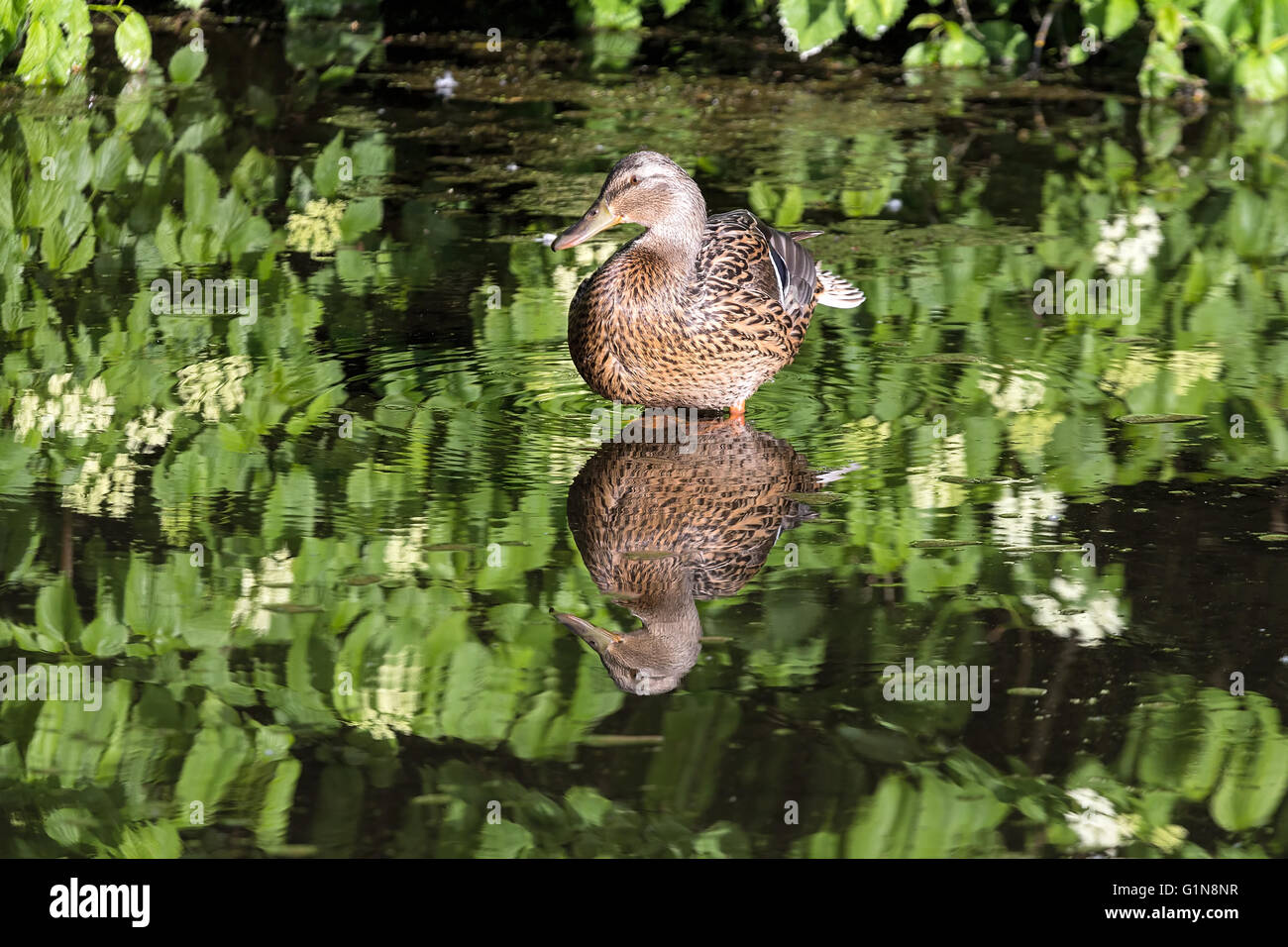 Female Mallard Duck wading in the lake at Crystal Springs Rhododendron Garden - Stock Image