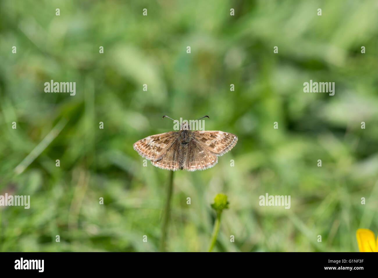Dingy skipper (Erynnis tages). Adult basking in sunlight. - Stock Image