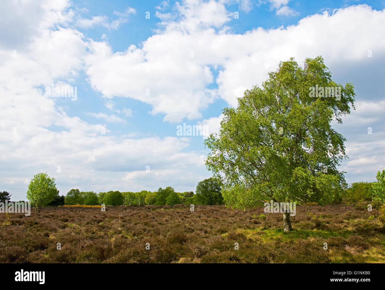 Westleton Heath, Suffolk, England UK - Stock Image