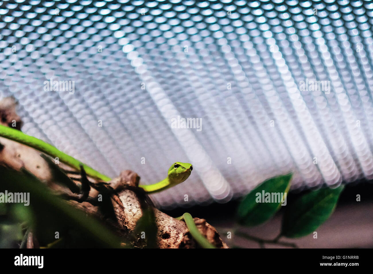 Bangkok, Thailand. 17th May, 2016. A long-nosed whip snake is seen at Queen Saovabha Memorial Institute's snake museum in Bangkok, Thailand, May 17, 2016. Founded in 1922, the Queen Saovabha Memorial Institute is a major research organization in Thailand that specializes in rabies and animal toxins. At the institute's snake museum, visitors will see dozens of venomous and non-venomous snake breeds as well as learn emergency treatments for snake bites. © Li Mangmang/Xinhua/Alamy Live News Stock Photo