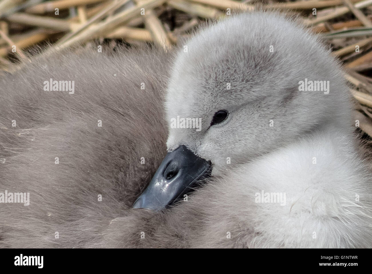 London, UK. 17th May, 2016. Mute swan cygnet hatchlings on Canada Water pond Credit:  Guy Corbishley/Alamy Live Stock Photo