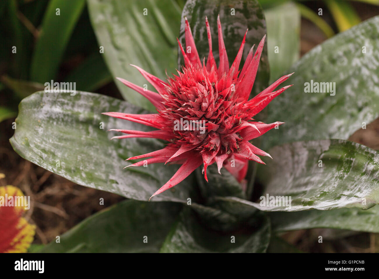 Pink bromeliad flower aechmea fasciata is a beautiful but poisonous pink bromeliad flower aechmea fasciata is a beautiful but poisonous plant found in brazil mightylinksfo